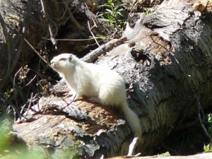 Pic-albino marmot