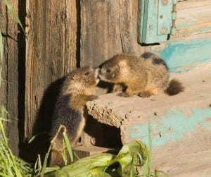 Marmots at Paradise Cabin - photo by Sally Vennel