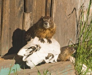 Marmots - photo by Sally Vennel