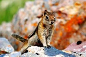 PIC-2015 Ground Squirrel