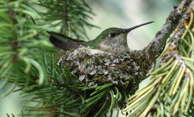 breeding-bird-hummer