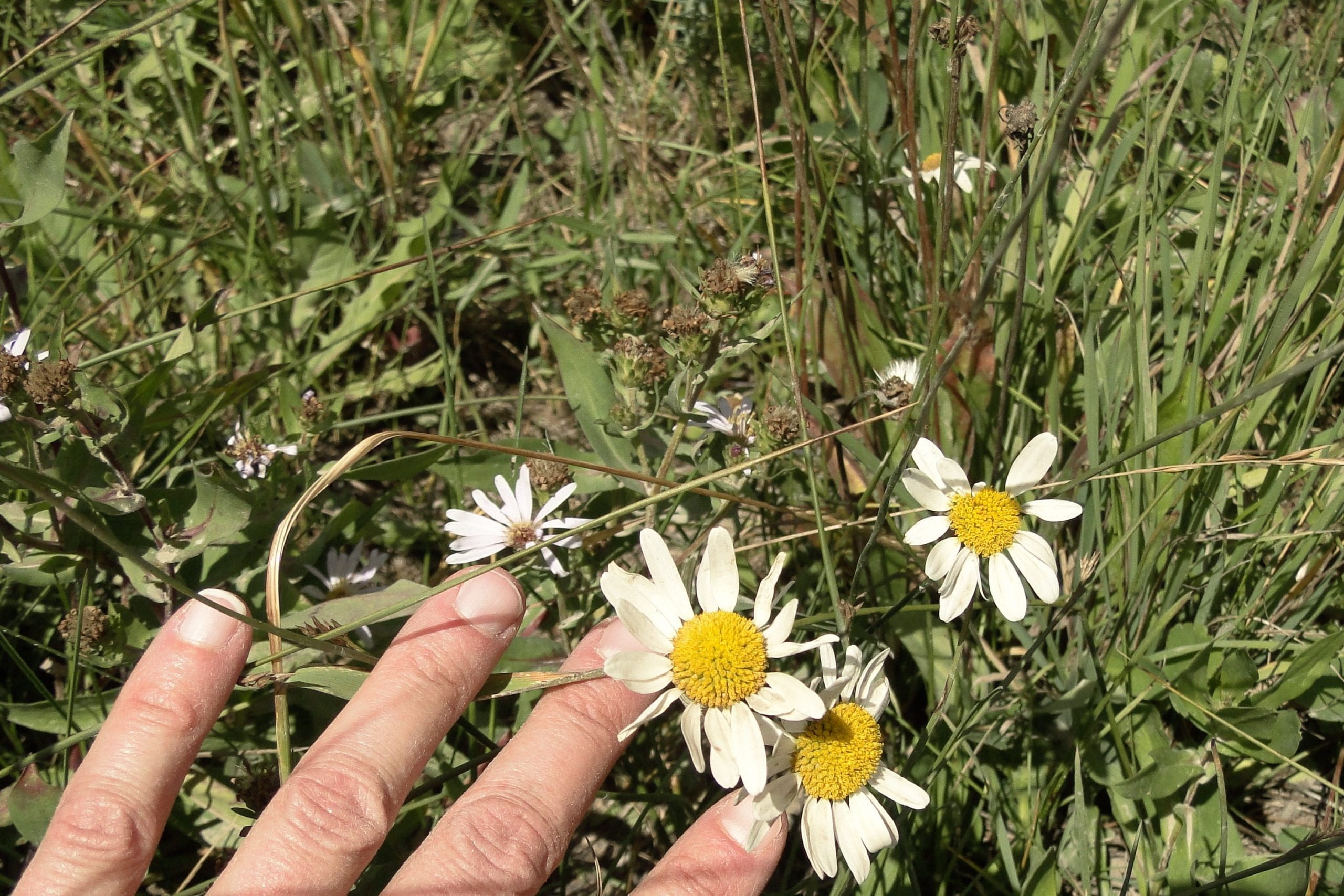 Ox eye daisy rocky mountain biological laboratory it is not commonly available in stores but it can be purchased online and some municipalities may make it available a small amount goes a long way izmirmasajfo