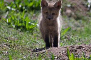 Fox Kit Blumstein Crop