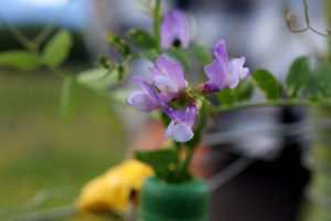 06 - Purple vetch