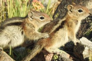 Ground Squirrel Panel