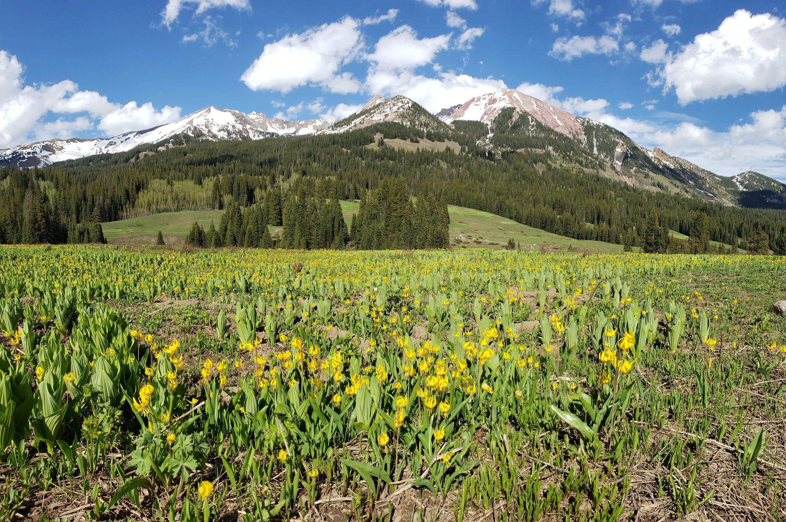 Glacier lilies and Gothic Mountain